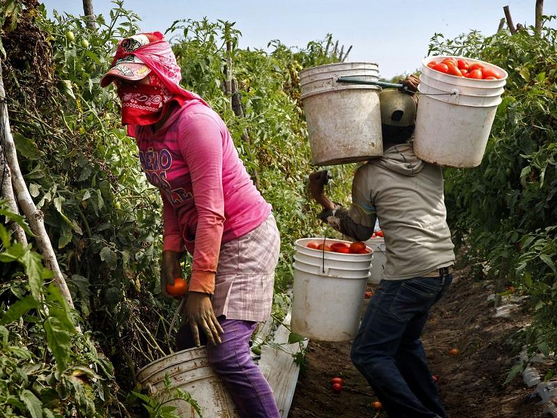 Foto24 Catadores de tomates na Florida Política anti imigrante causa falta de mão de obra e revolta fazendeiros