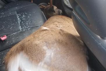 Motorista sobrevive a atropelamento de veado em NJ
