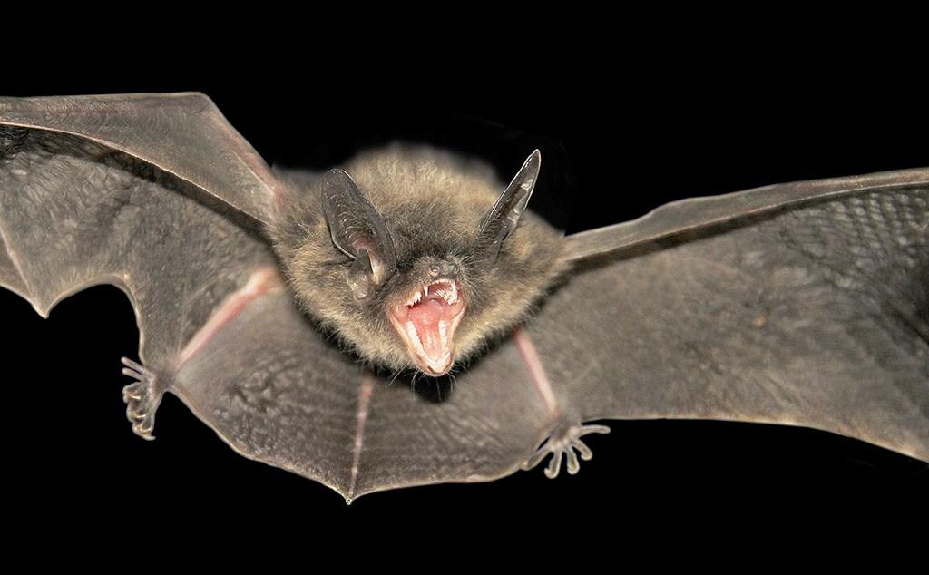 morceguim roberto Os morcegos de Coimbra